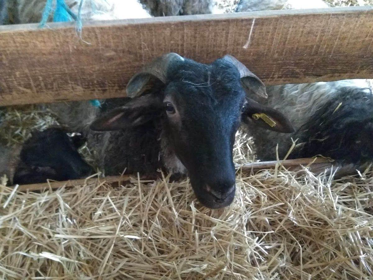 la raza de oveja latxa en la Quesería Borda Marengo encuentro #BloggersQuesoRoncal